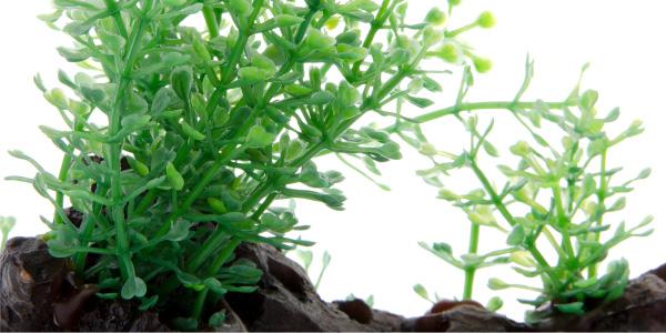 Akvarijní rostlinka Kořen Amazon