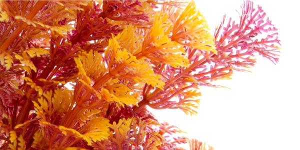 Akvarijní rostlinka Ambulia hnědá